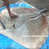 #NeverSeenBefore   Marbled Electric Ray Fish   Very Rare Fish Cutting   Big Fish Cutting