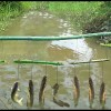 how to make a fish trap through fishing hook, line & bamboo